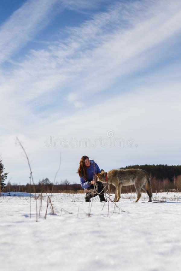 The girl is engaged in training a gray wolf in a snowy and sunny field royalty free stock photo