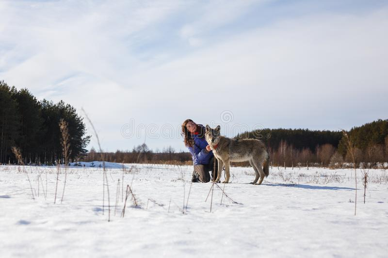 The girl is engaged in training a gray wolf in a snowy and sunny field stock image