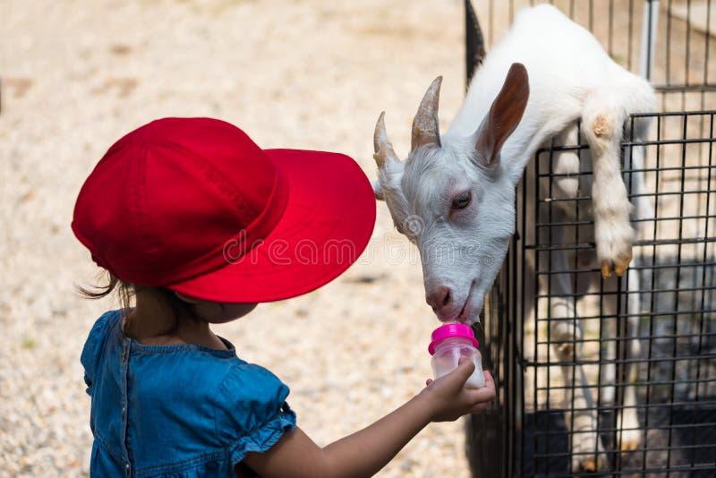 girl feeding milk to goat royalty free stock images