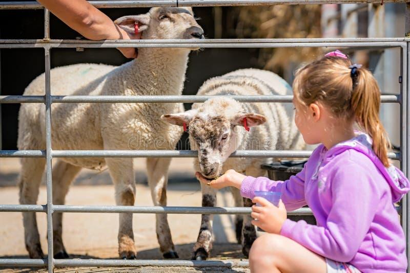 Girl feeding sheeps on a farm royalty free stock photos