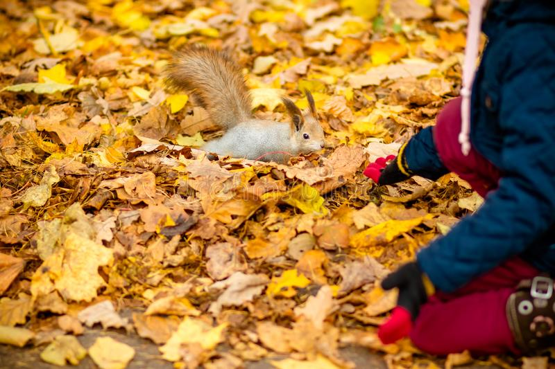 Girl feeding squirrel in autumn park. Little girl in blue trench coat and brown leather boots watching wild animal in royalty free stock image