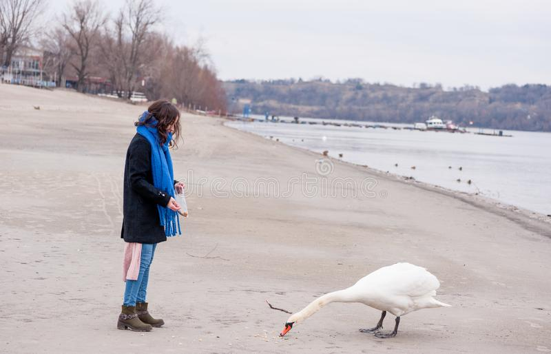 Beautiful young girl in the black coat feeding the swan on the beach near river or lake water in the cold winter weather, animal f royalty free stock photos