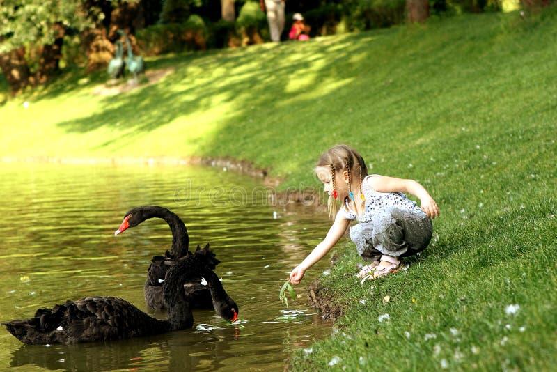 Girl feeding swans lake shore park royalty free stock photos