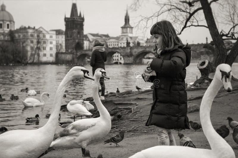 Girl feeding swans in Prague royalty free stock photography