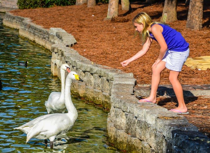 Girl Feeding Swans stock photo
