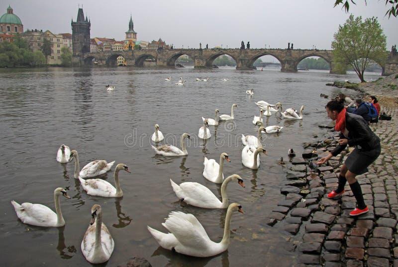 A girl feeding white swans at Vltava river in Prague, Czech Republic royalty free stock images