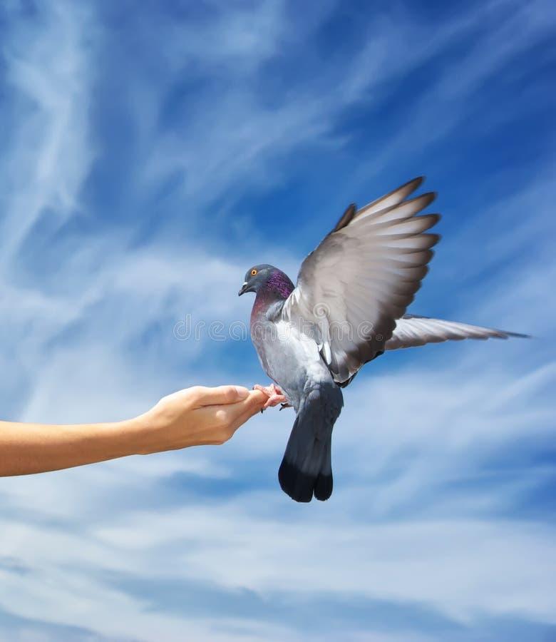 Girl feeds the dove stock photos