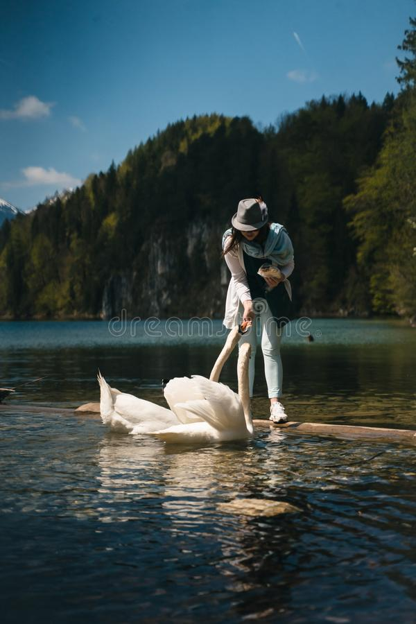 Girl feeds a white swan on the shore. stock photos