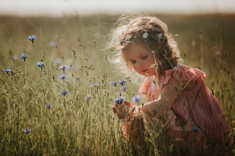 Girl in a field collects a bouquet of flowers. little girl collects flowers in the field stock photo