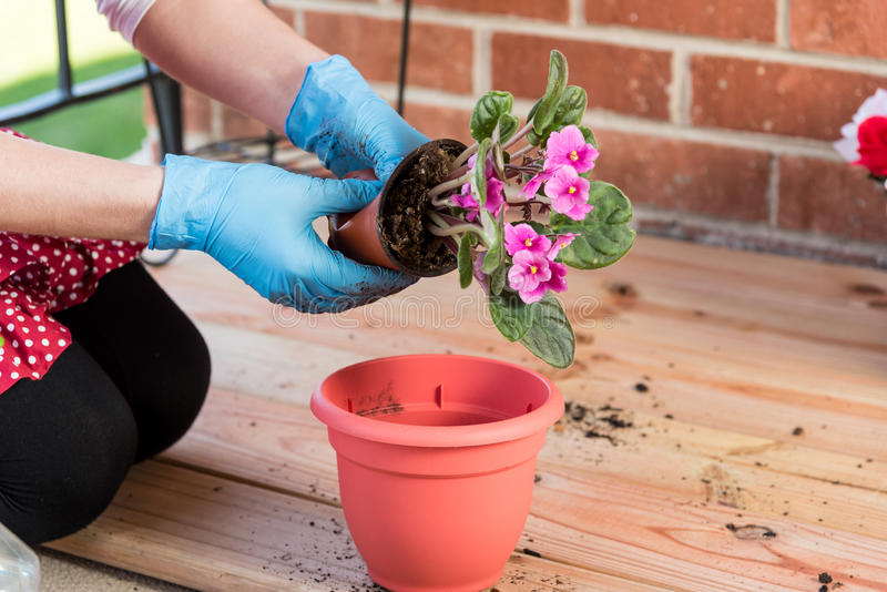 Girl with flowerpot replant flower of african violet. Girl replant flowers of violet in a large pot on the balcony in the spring of the big city royalty free stock photography