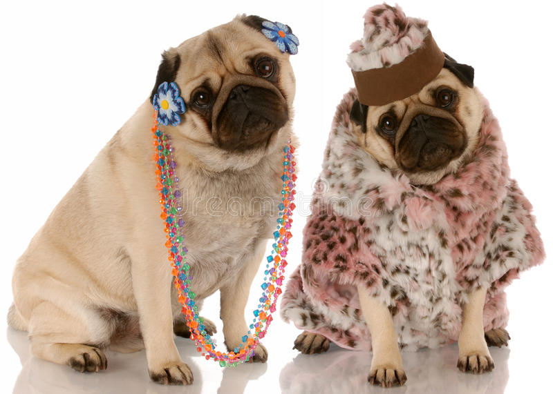 Girl friends. Best friends - two pug girlfriends dressed up in fashionable clothing stock image