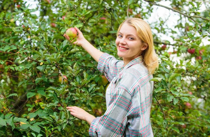 Girl gather apples harvest garden autumn day. Farmer lady picking ripe fruit from tree. Harvesting concept. Woman hold. Ripe apple tree background. Farm royalty free stock photos