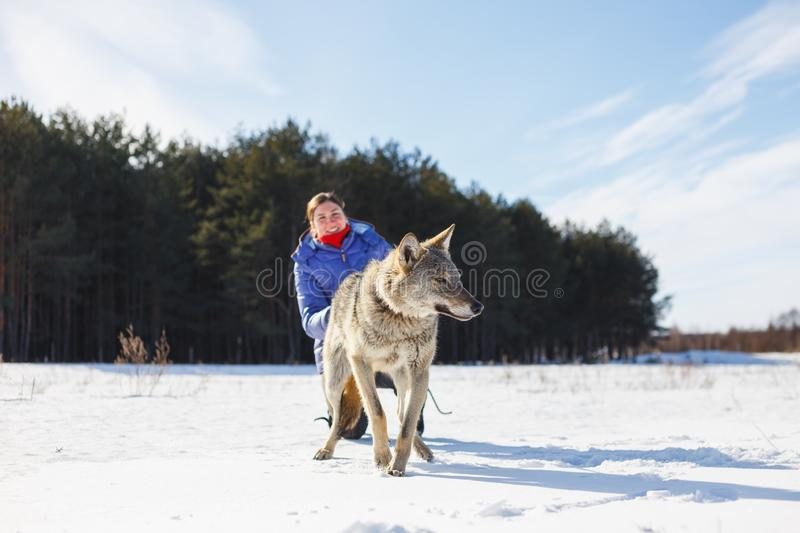 The girl and the gray wolf play together in a snowy and sunny field in winter royalty free stock images