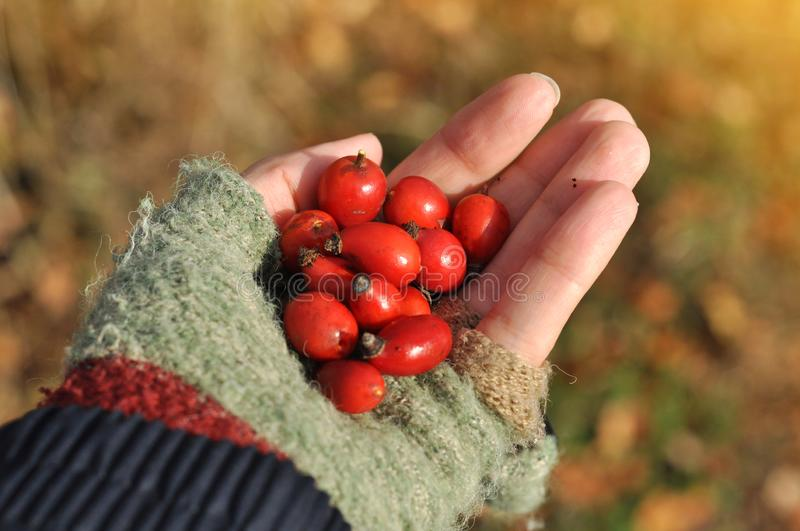 Girl hand holding a dog-rose berries. Dog rose fruits Rosa canina on the blurred green grass stock images
