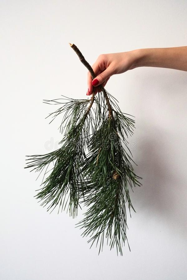 Girl hand holds down a branch of a pine tree with green needles and cone isolated on a white background. Christmas and New Year holiday symbols stock images