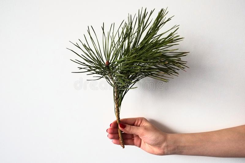 Girl hand holds up vertically a branch of a pine tree with green needles isolated on a white background. Christmas and New Year holiday symbols stock photos