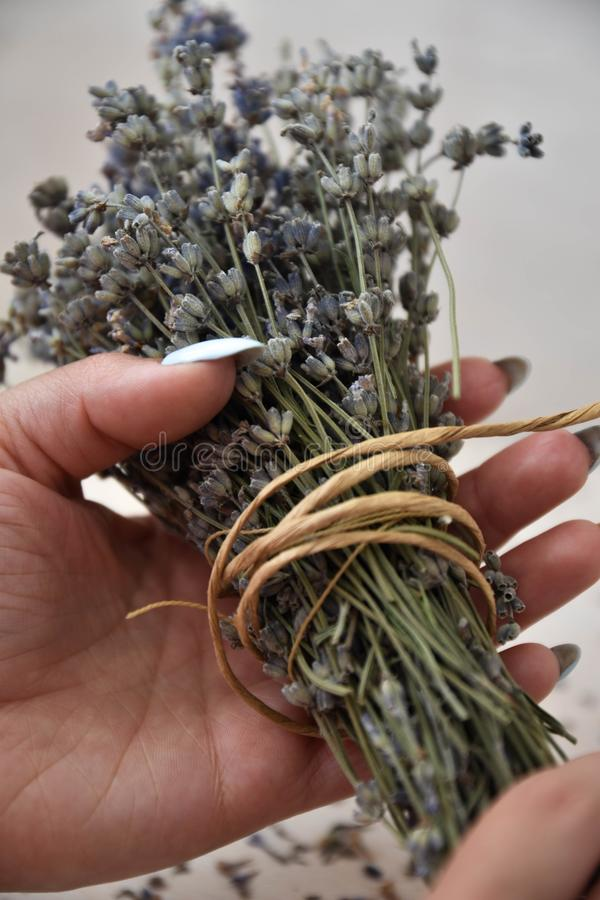 Girl hands hold bunch of dry lavender. royalty free stock photography