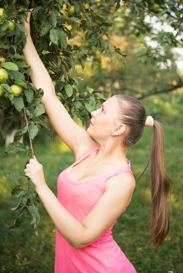 Girl harvest apples stock photo