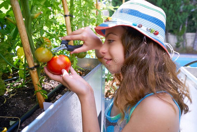 Girl harvesting tomatoes in a table orchard. Raised bed royalty free stock photography