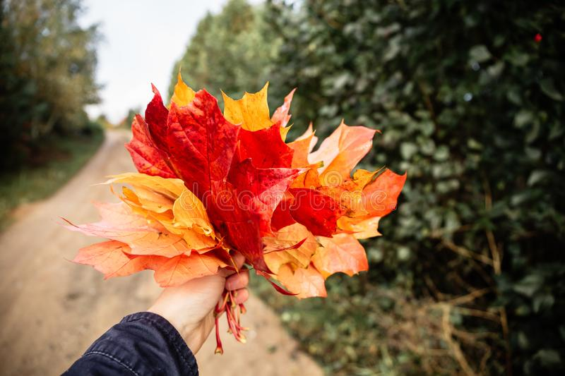 Girl hold in hand yellow, orange and red bouquet of maple leaves. In hand yellow, orange and red bouquet of maple leaves royalty free stock photo
