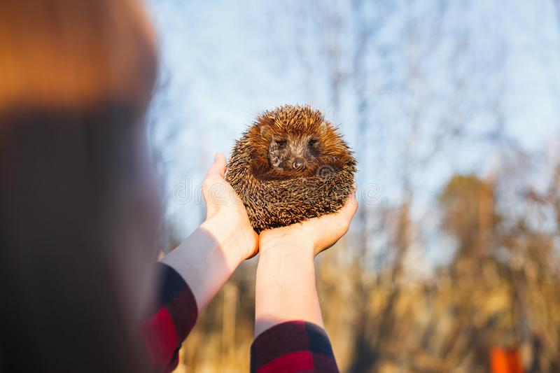 Girl holding a hedgehog on outstretched arms stock images