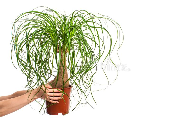 Girl holding Nolina in flower pot isolated on white background royalty free stock photography