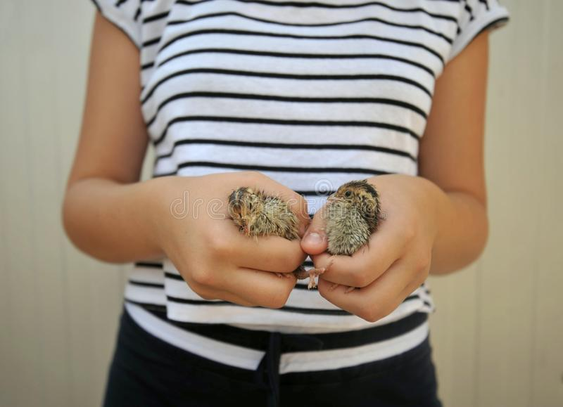 Girl holding two baby quail chicks on a summer day stock images