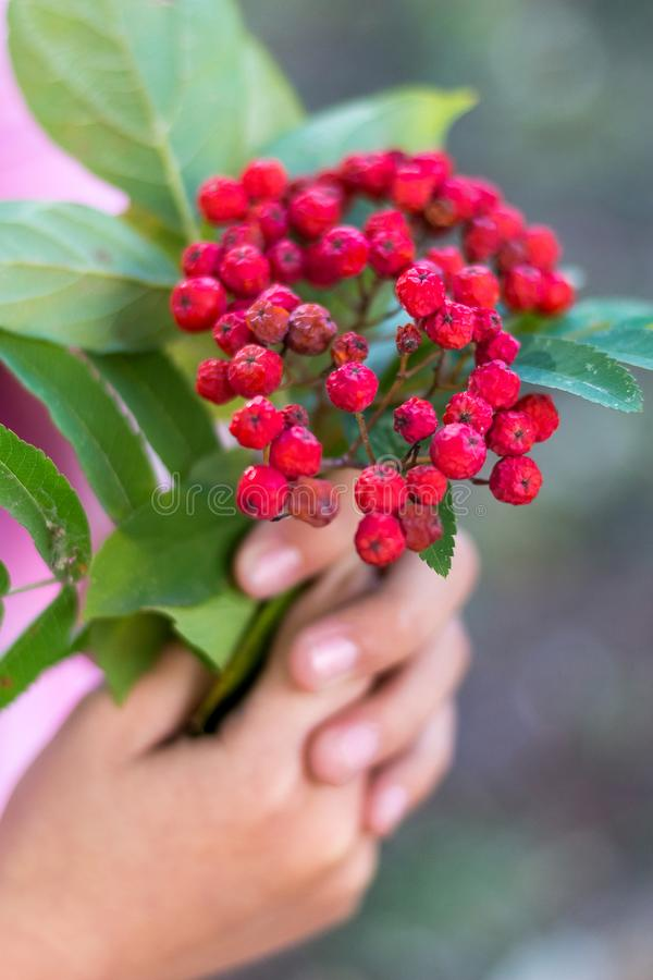 The girl holds a branch with a red mountain ash in her hands_ stock images