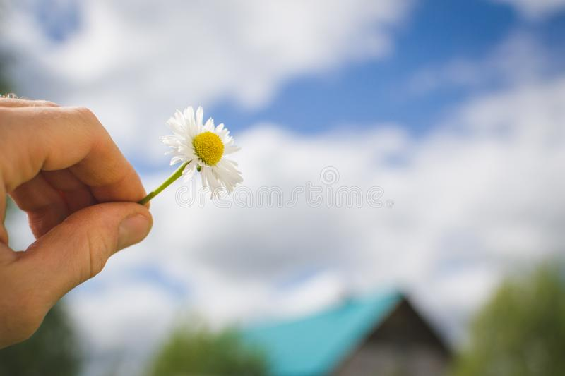 A girl holds chamomile in hand. Big white Daisy with yellow world-renowned place. Health and beauty concept royalty free stock photos