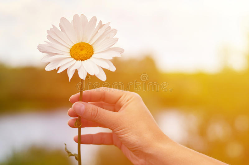 A girl holds chamomile in hand. Big white Daisy with yellow world-renowned place. Health and beauty concept.  stock photo