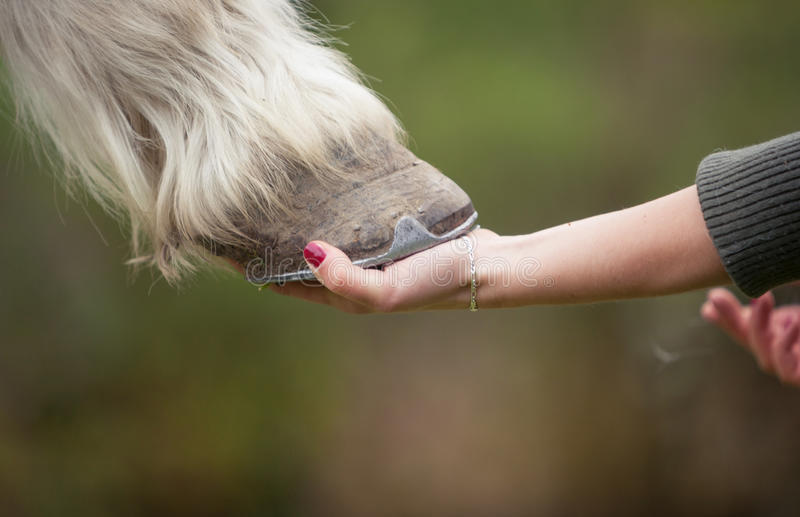 Girl holds a hoof of horse. Girls hand holds a hoof of a horse royalty free stock image