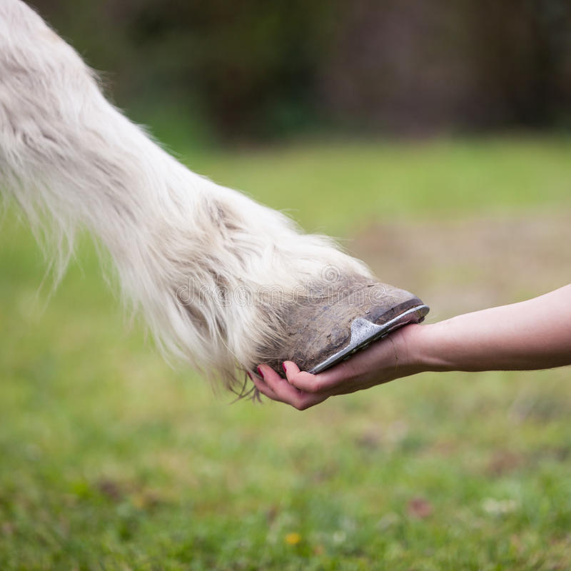 Girl holds hoof of white horse royalty free stock photos