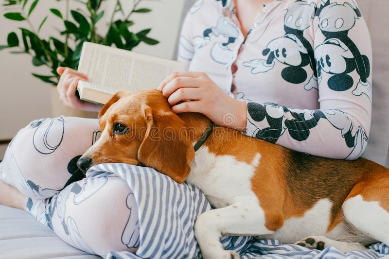 The girl in pajamas is reading a book at home with a beagle puppy dog. Beagle is lies on girl`s knees. Beagle dog is yawns royalty free stock image