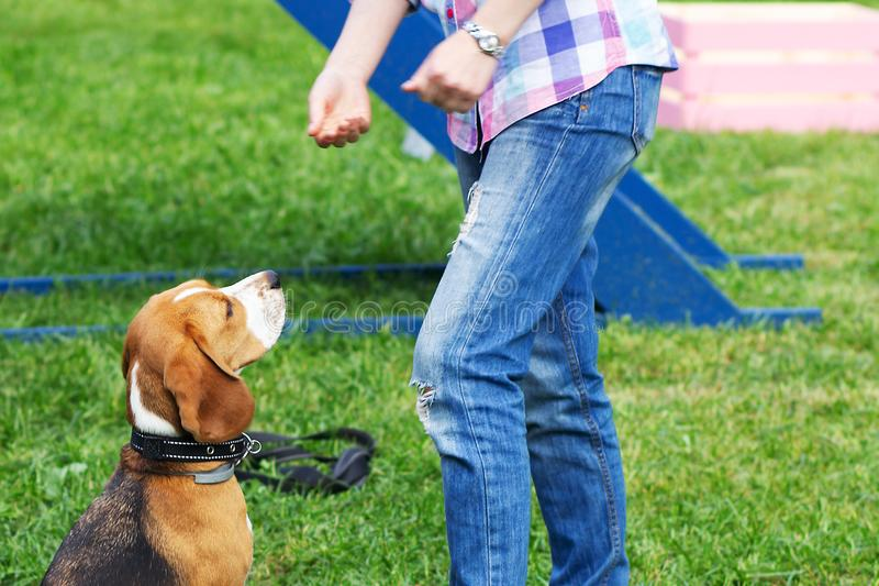 Girl trains a beagle dog stock photo
