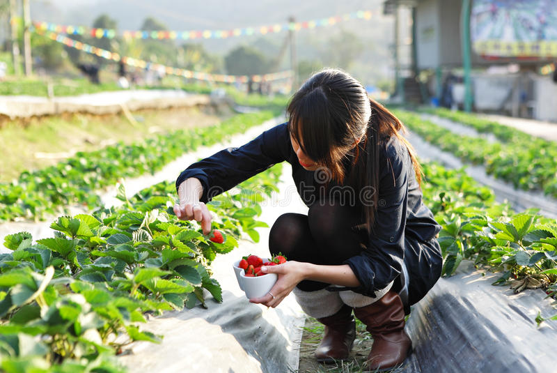 Girl pick strawberry. For fun in farm royalty free stock images