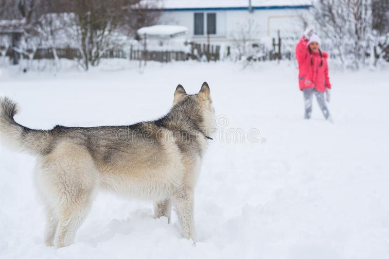 A girl in a pink jacket and hat girl gives commands to a Husky d. Og in the countryside. Little girl playing with a Siberian husky breed dog in the winter in the stock photography