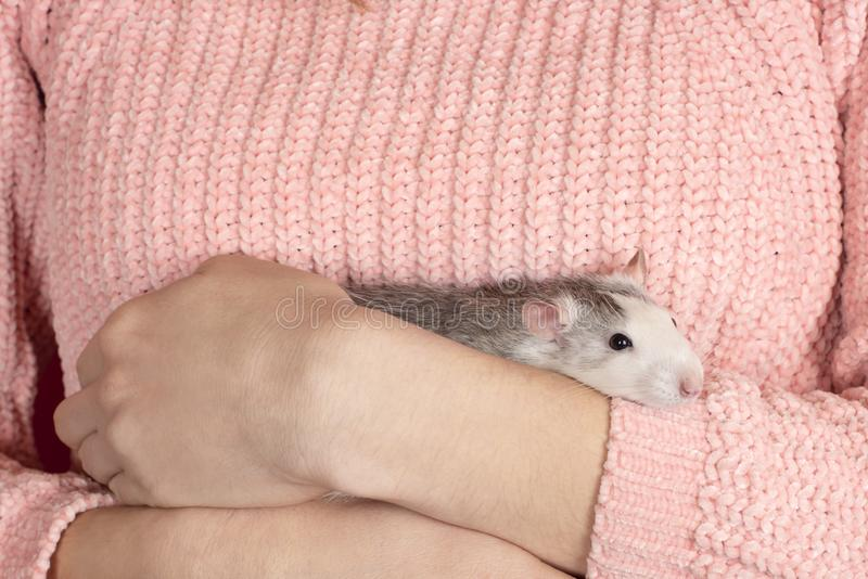 The girl in pink pullover neatly and gently holds a cute gray rat close up. Pets concept stock photo