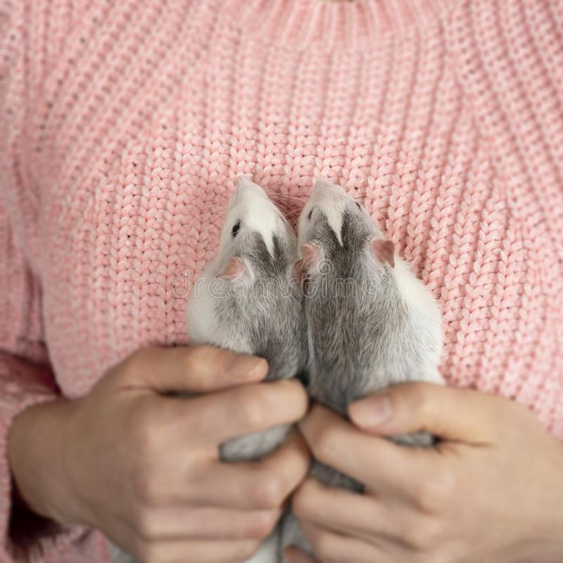 The girl in pink pullover neatly and gently holds two cute gray rats close up. Pets care concept royalty free stock photo