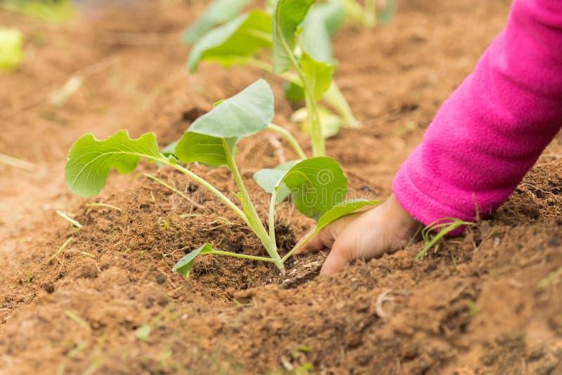 Girl planting cauliflower into the fresh soil of a garden. Little girl planting cauliflower into the fresh soil of a garden stock photography