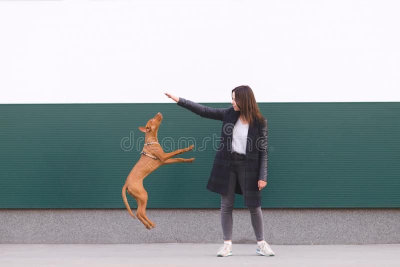 Girl plays with the dog against the background of the wall. The puppy jumps to the owner`s hands. Leisure with a pet. The girl plays with the dog against the stock photos