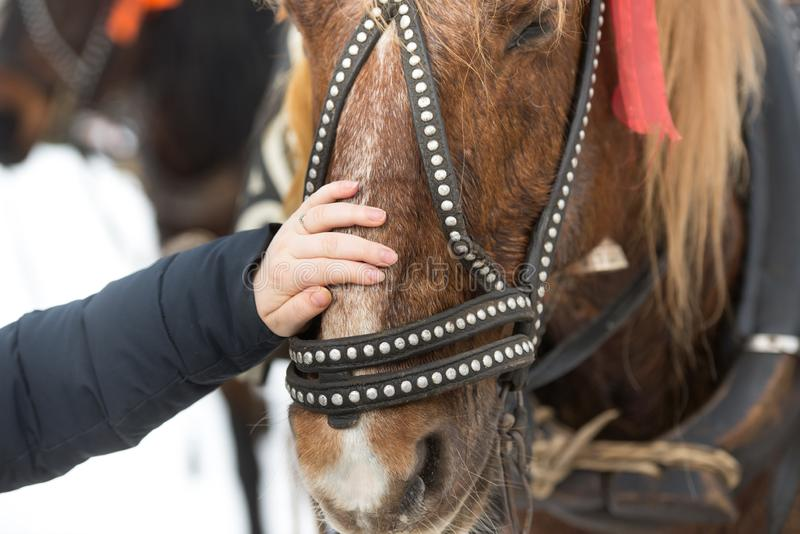 The girl touches the face of the horse with his hand. hild`s hand strokes a horse`s face in a bridle stock photography