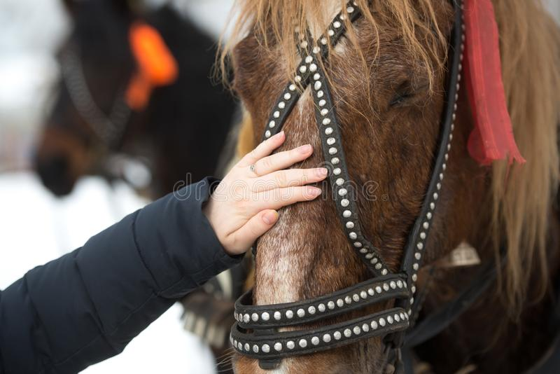 The girl touches the face of the horse with his hand. hild`s hand strokes a horse`s face in a bridle royalty free stock photography