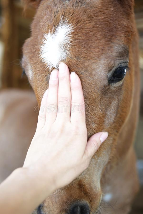 The girl touches the horse`s face with her hand. Portrait of a foal. The girl touches the horse`s face with her hand. Portrait of a foal close-up royalty free stock images