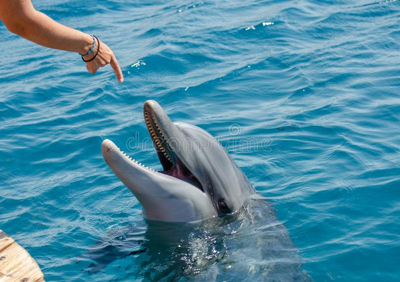 Girl trainer instructs dolphin to do some tricks. Girl trainer instructs smart dolphin to do some tricks stock image