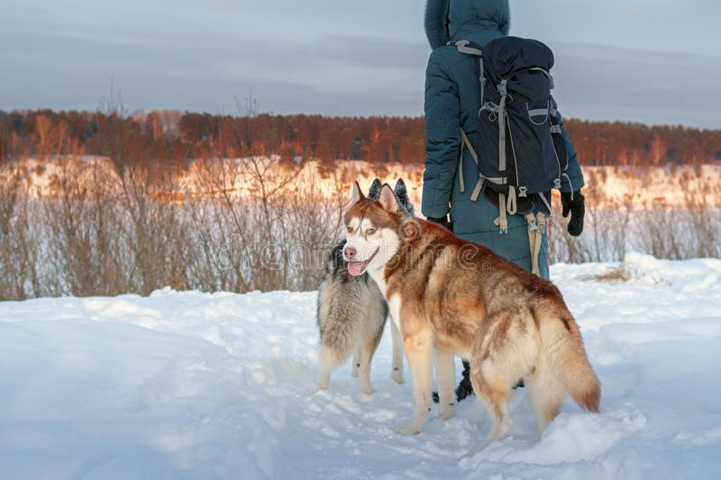 Girl and two Siberian Husky dogs. Brown husky dog looking at the camera. Rear view on the background evening winter landscape royalty free stock images