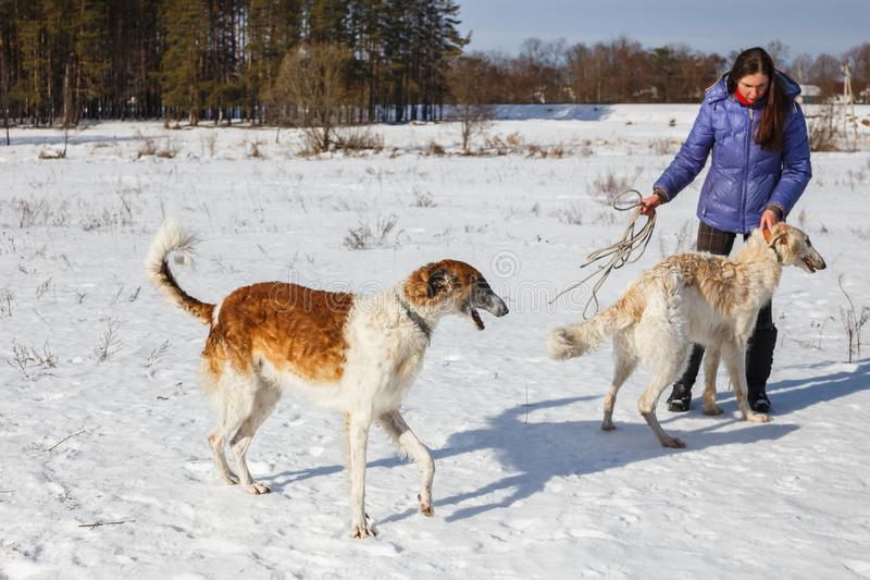 A girl, a wolf and two canine greyhounds playing in the field in winter in the snow royalty free stock image