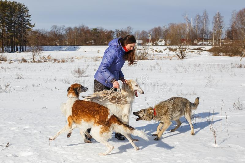 A girl, a wolf and two canine greyhounds playing in the field in winter in the snow royalty free stock images