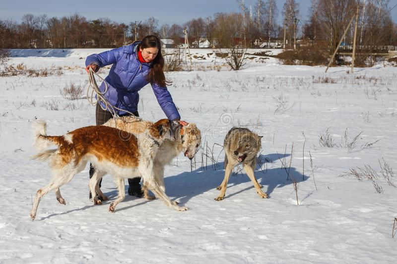 A girl, a wolf and two canine greyhounds playing in the field in winter in the snow stock image