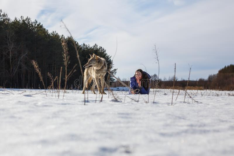 A girl, a wolf and two canine greyhounds playing in the field in winter in the snow stock images