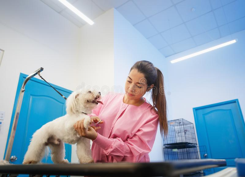 Girl At Work In Pet Store And Grooming Dog. Young woman working in pet shop, trimming dog hair, girl grooming puppy for beauty in store. People, jobs stock photo
